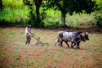 Plowing the Tobacco Field